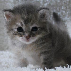 サイベリアンの子猫 2020年6月19日生まれの女の子02