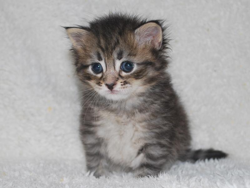 サイベリアンの子猫 2020年6月19日生まれの男の子01