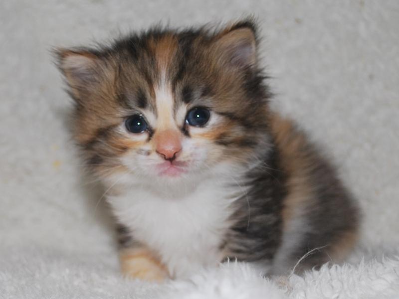 サイベリアンの子猫 2020年6月19日生まれの女の子01
