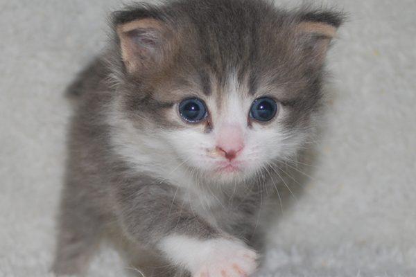 サイベリアンの子猫 2020年6月19日生まれの男の子02