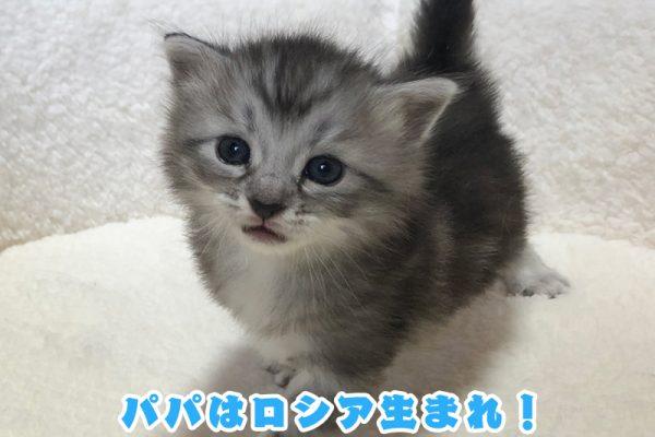 サイベリアンの子猫 2021年3月1日生まれ