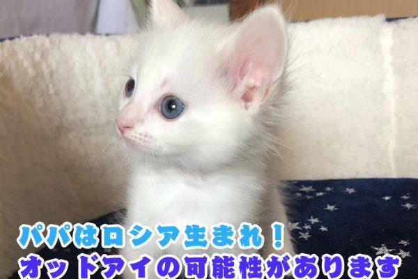 サイベリアンの子猫 2021年2月17日生まれ
