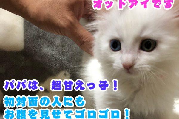 サイベリアンの子猫 2021年2月11日生まれ